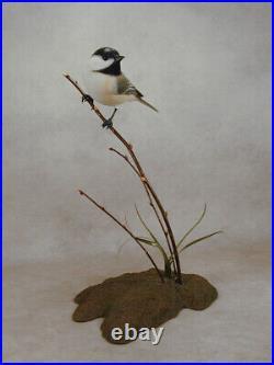 Black-capped Chickadee Original Bird Wood Carving